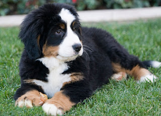 Bernese Mountain Dog cute Puppy