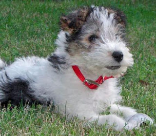 Wire Fox Terrier Puppies Pic
