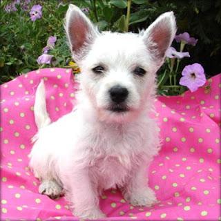 Westhighland Terrier Dute Pet