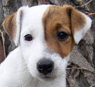 Jack Russell Cute Puppies