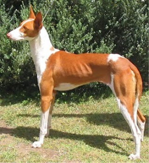 Ibizan Hound Cute Dog Breed picture