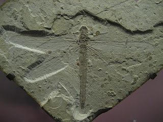 Fossil dragonfly 70 million years