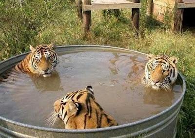 foto bugil trio macan mandi, hot pictures of trio macan, gambar panas artis dangdut indonesia