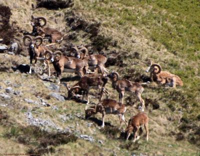 Groupe de mouflons mâles