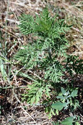 Ambroisie : plante toxique, hyper-allergène et envahissante. En bas à droite, un peu de chénopode blanc