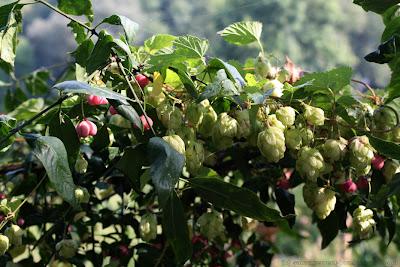 Baies roses-rouge de fusain d'Europe (euonymus europaeus) et cônes de houblon (humulus lupulus)