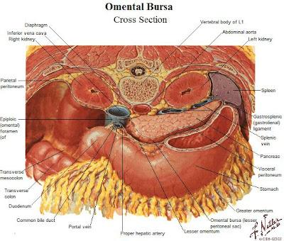 Tu Preparador de Anatomía: Bolsa Omental - Anatomía humana, anatomía ...