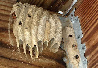 organ pipe wasp nest
