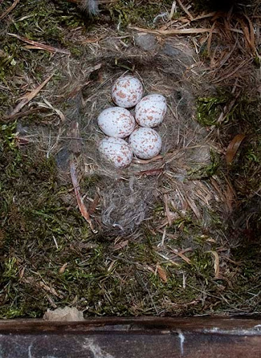 white-breasted nuthatch eggs (Sitta carolinensis)