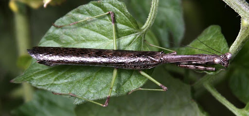 Carolina Mantid (Stagmomantis carolina)