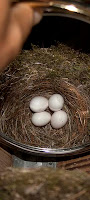 eastern phoebe eggs