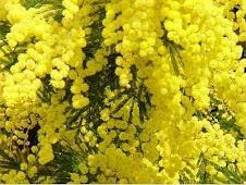 ancora mimose