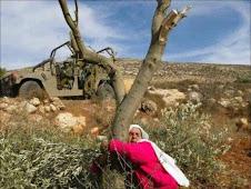 palestinese difende il suo ulivo