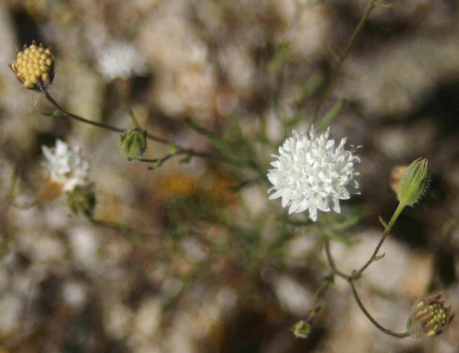 Cannundrums White Pincushion