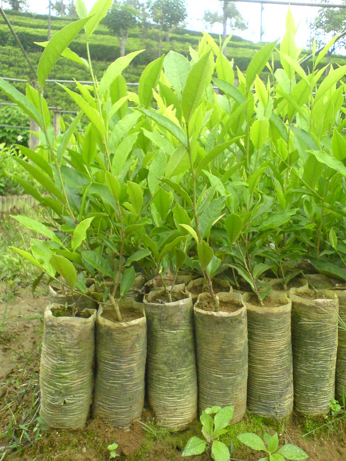 Click Her To View Fertilizer For Seedling Tea Nursery