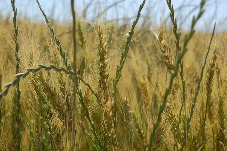 La producción cerealera