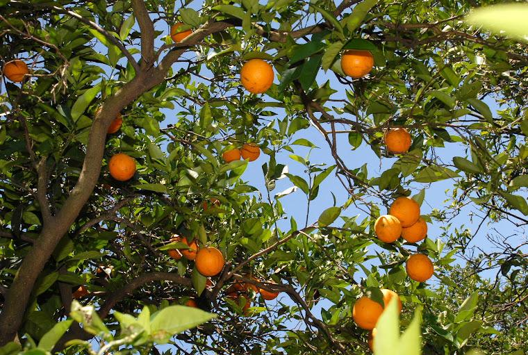 Naranjas... ninguna como la salteña!!!