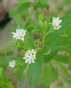 FLOWERS OF MEETHI PATTI