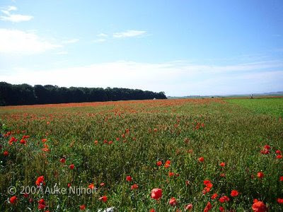 Poppy fields in France.