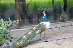 BLUEPIED PEAFOWL