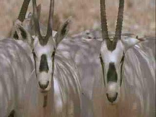 Oman Community Blog: Oman's Arabian Oryx sanctuary becomes ...