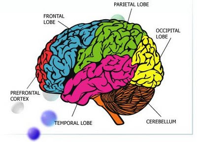 teen development of the brain