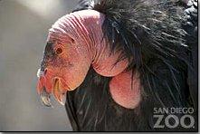 SanDiegoZoo.org - California Condor