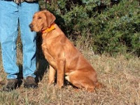 earn with comment: red fox labrador