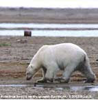Polar bears threatened by thaw across the Arctic