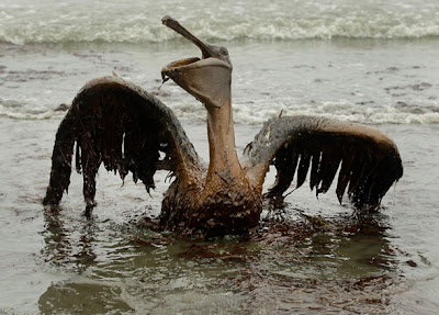 Pelican covered in BP oil