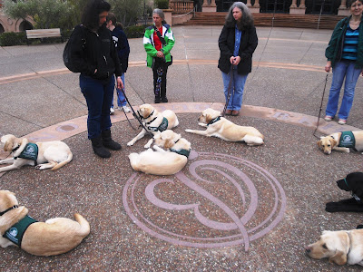 Eight guide dog puppies practicing the down command