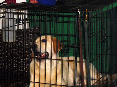 A large yellow lab in a crate looking at the camera smiling