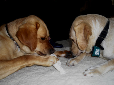 Reyna and Wendy laying together.  Wendy is chewing on a nylabone and Renya is sniffing Wendy's paw.