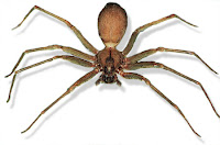 Brown Recluse in Anchorage, Alaska