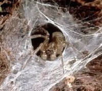 Funnelweb Spider