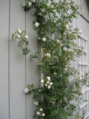 Polar Roses in Alaska