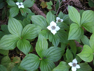 Bunchberry Dogwood, World's Fastest Organism