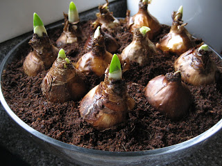 Forcing Bulbs Indoors