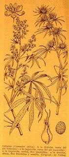 imagen que del cáñamo índico recoge el 'dioscórides'
