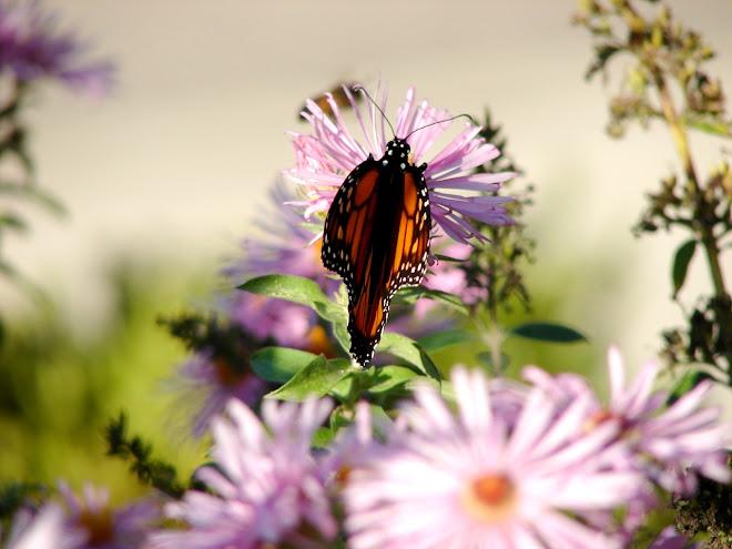 Butterfly-C