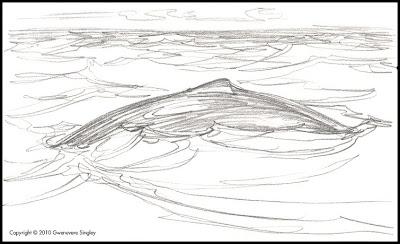 humpback whale back