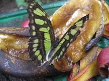 Una Otra Bonita Mariposa