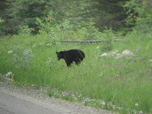 Black Bear Standing by the Side of the Road