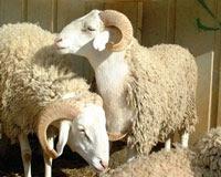 وصية خروف إلى ابنه