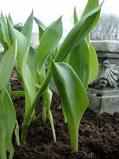 [tulips]