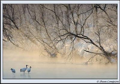 trancho, japanese cranes, japanese cranes, photographers,