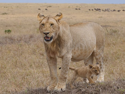 c4 images and safaris, masai mara, migration, photography