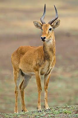 puku ridge, zambia, wildlife, south luangwa, nature photography, c4 images and safaris
