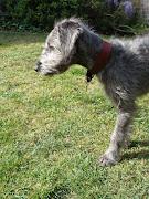 Tilly 15 weeks whippet x bedlington