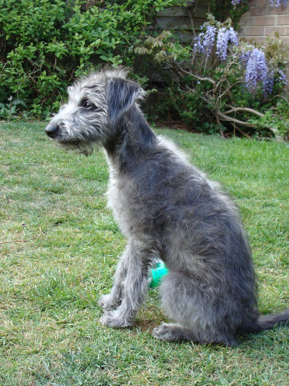 Bedlington Whippet Greyhound